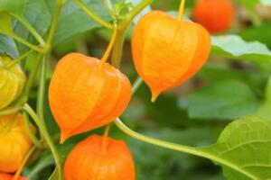 Ground Cherry, 50 Seeds, NON-GMO, Cape Gooseberry, Chinese Lantern, FREE SHIP