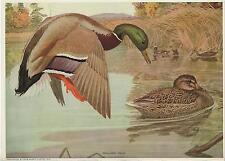 ANTIQUE WILD GAME BIRD MALLARD DUCK GOSLING MARSH POND ART COLOR PICTURE PRINT