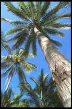 064060 Towering Palm Trees Puerto Vallarta A4 Photo Print