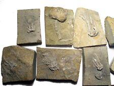 Carboniferous Mississippian Bangor Limestone Phanocrinus crinoid on matrix