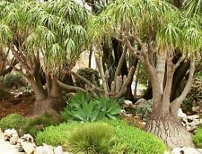 10 Samen Beaucarnea recurvata, Elefantenfuß, Ponytail Palm, Zimmerpflanze