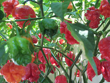Trinidad Scorpion Butch T: 100 Seeds - one of the hottest Chilli in the world