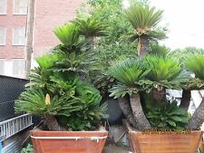 Giant Sago Palms