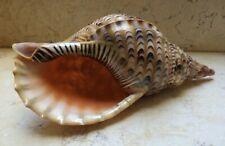 Charonia Tritonis Trumpet Shell 10.1 Inch Length Very Rare Specimen Nature shell