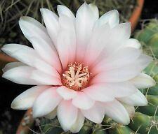 Escobaria albicolumnaria Hardy Ball Cactus SEEDS!