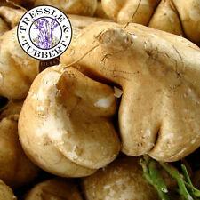 Rare Jicama- Mexican root vegetable - 7 seeds - UK SELLER