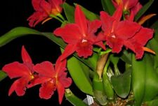 Orchid Slc. Jewel Box Dark Waters, amazing red color (4 Sr)