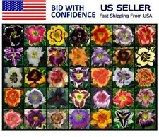 DAYLILY SEEDS Best Intros Daylilies you will find Perennial Flower seed Grow Now