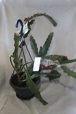 "025 - Epiphyllum Blattkakteen Hybride "" Black Forrest """