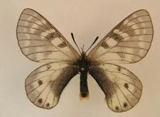 Parnassius hunza female A/A-    (Papilionidae)