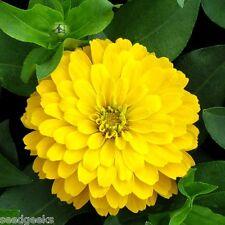 Zinnia, Canary Bird Heirloom Seeds - Non-Gmo - Untreated - Open Pollinated!