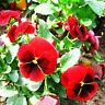 50 Red Pansy Seeds Viola Tricolor Herb Trinity Ornamental Garden Flowers