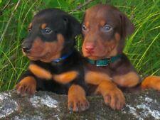 Doberman Pinscher Puppies 8X10 Glossy Photo Picture