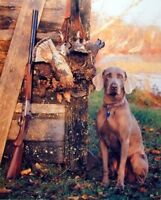 Wild Weimaraner Hunting Dog With Gun Animal Wall Decor Picture Art Print (8x10)
