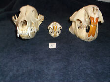 Real Coyote,Beaver,Muskrat Skulls,Taxidermy,Native Crafts natural science
