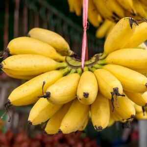 "Lady Fingers Banana Living Fruit Tree (Musa × acuminata) 12""-24"" Sweet"