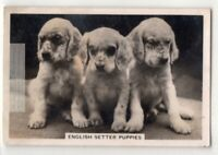 English Springer Spaniel Dog Canine Pet Animal 1930s Trade Ad Card