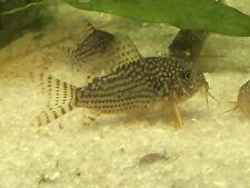 6 Sterbai Corydoras Live FreshWater Cory Catfish Aquarium Fish Bottom Tank