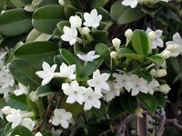 Stephanotis Floribunda Madagascar Jasmine Starter Plant 4 - 6 In. Tall 2 In. Pot