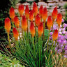 50pcs Beautiful Red Hot Poker Torch Lily Flower Seeds Kniphofia Uvaria seeds