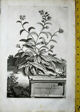 Abraham Munting,Aardgewassen,Borrago verrucosa minor,Rare&large Engr.1696 #404