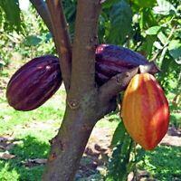 Cacao Cocoa Chocolate Fruit Tree 1'-2' Tall