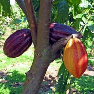 Cacao Cocoa Chocolate Fruit Tree 1'-2' Tall