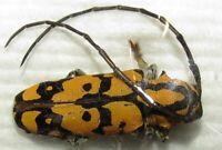 E CERAMBYCIDAE Tragocephala variegata PAIR FROM ZAMBIA