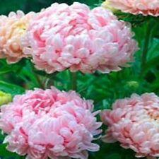 Aster Tall Paeony Duchess Apricot 50 Seeds  Garden Seeds 2u