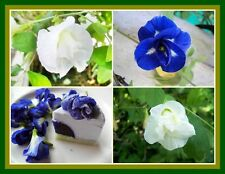 *Uncle Chan* 100 Seed White & Blue Butterfly Pea Clitoria Ternatea Vine Flower