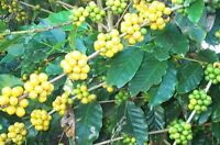 Brazilian Yellow Bourbon Coffee Beans Fresh Roasted Daily  5 - 1 Pound Bags