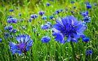 500+ Graines Centaurée bleuet 'Centaurea cyanus' Bachelor's button seeds