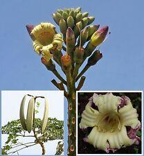 Oroxylum indicum Seeds Indian Trumpet Flower Tree  Rare Tropical plant Edible