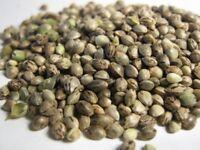 50 Graines de Chanvre cultivé ,Hemp ,Cannabis Sativa seeds