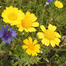 CORN MARIGOLD - NATIVE ANNUAL WILDFLOWER - 600 SEEDS - wild flower seed