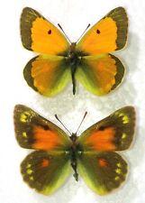 Lepidoptera. thisoa strandiana, A-, pair, Transcaucasia, RARE
