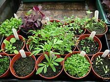 Flower - Silybum marianum - Milk Thistle  - 30 Seeds