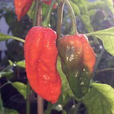 Liveseeds - Fatalii Gourmet JIGSAW Hot Pepper Chili Bulk 100 Seeds
