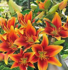 10 Zwiebeln Asiatische Lilien Blumenzwiebeln winterhart duftend schnellwüchsig