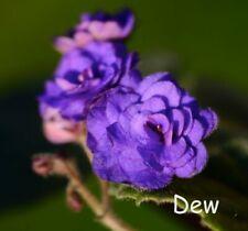 African Violet 'Double Blue Boy' - Starter Plant