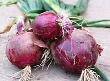 25  FRESH RED BURGANDY ONION SEEDS FREE USA SHIPPING