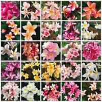 """Adenium Obesum /""""Double /& Triple Fleurs Violet/"""" mixte//Assortiment de 20 graines"""