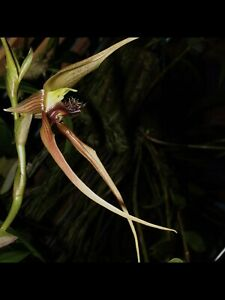Orchid Species Bulbophyllum sulawesii ( in spike )