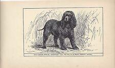 1900 Uk Original Dog Art Pen & Ink Print Rh Moore Champion Irish Water Spaniel
