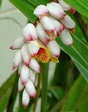 Alpinia zerumbet variegata  pot 7x7x7 cm.