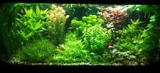 10 BUNCHED & WEIGHTED Aquarium live plants tropical  - mixed colours & species