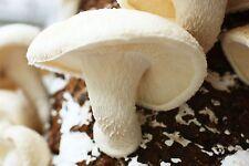 LIVE 100g Mycelium Seeds Spores Grow WHITE SHIITAKE MUSHROOM fungus  w/ Manual