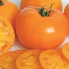 A 0.2g (approx. 50) yellow tomato seeds YELLOWSTONE tasty sweetish fruits Rare