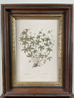 Antique George Knorr Botanical Engraving Floral Print 18th Century Hand Colored