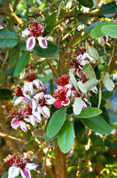 Pineapple Guava - Feijoa sellowiana - Live Plant - COLD HARDY EDIBLE - 1-3' tall